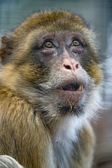Macaque with open mouth