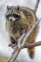 A cool racoon on the tree