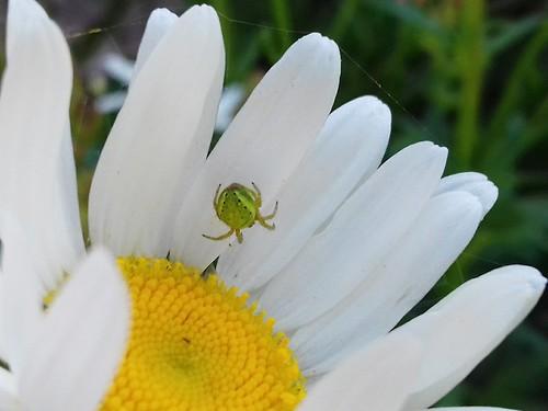 Kürbisspinne (unbestimmt) (Araniella indet.) (1)