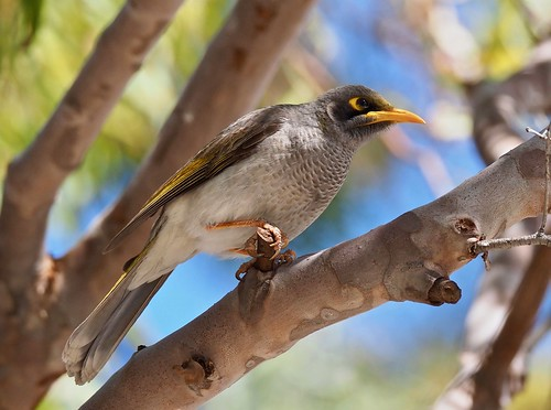 Yellow-throated (Dusky - ssp: obscura) Miner