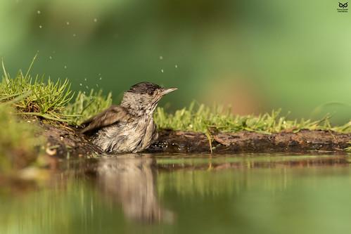 Toutinegra-de-barrete, Eurasian Blackcap (Sylvia atricapilla)