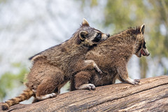 Two raccoons on a log