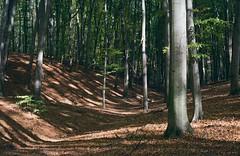 Буки на склонах / Beech forest on the slopes