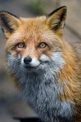 A nice fox portrait, again