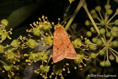 DSC08515 - Geelbruine herfstuil ( Agrochola macilenta ) -The Yellow-line Quaker