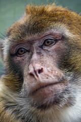 Last macaque portrait