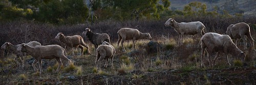 Nine Woolly Wethers