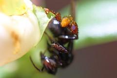 Irapuã (Trigona spinipes)