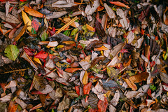 Colorful fallen leaves background.