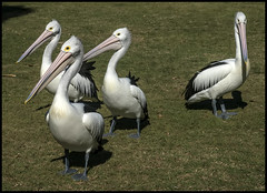 Four Pelicans in Pelican Park Clontarf-2=