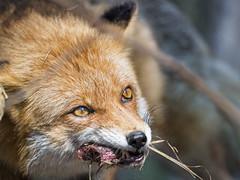 Last fox picture!