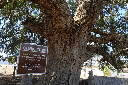 Oak :  Cork tree in Australia