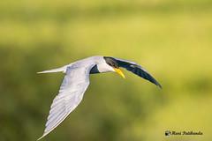 River Tern in flight