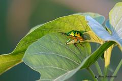 Jewel Bugs - Scutelleridae hiding under a leaf