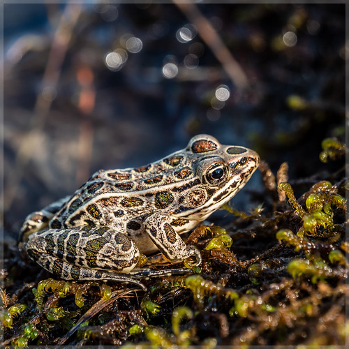 Frog_96693