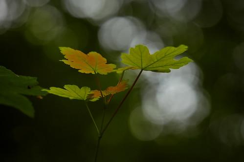 Plaffeien – Leaves