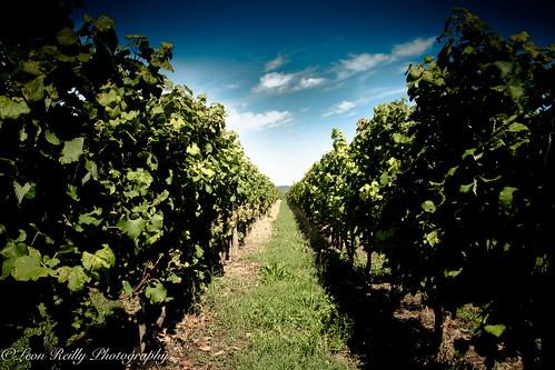 Vineyards in Sauternes, Bordeaux