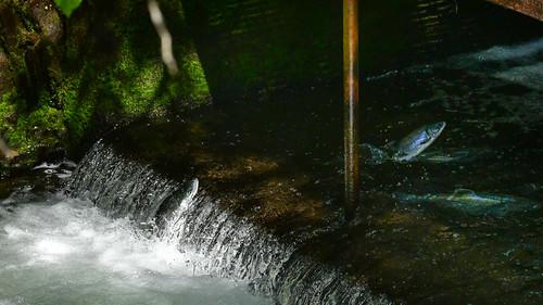 Salmons at Bear Creek Weir, Alaska