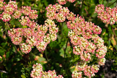 Mountain wildflowers with pink tinge