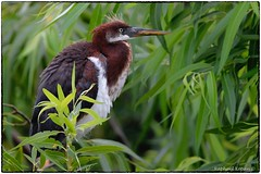 Young TriColor Heron