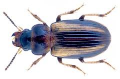 Stenolophus (Egadroma) prope elegantulus Per.