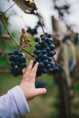 A little girl picking grapes at a vineyard
