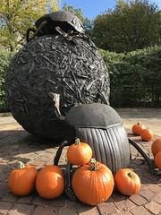 Dung beetles and pumpkins