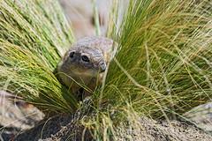 Ground squirrel among grass