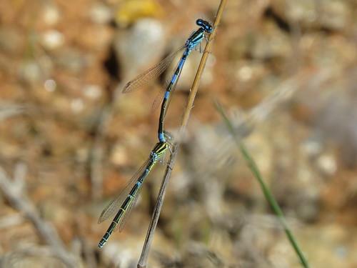 Coenagrion scitulum (Dainty Bluet)