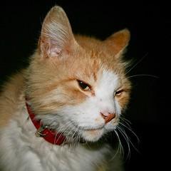#Marichan thinking something with severe look. #マリちゃん 険しい顔で何か考えている? #Tokyo #日本 #東京 #Japan #cat #猫 #ネコ #ねこ #Katze #chat #gatto #gato #feles #кошка #KAT #gato #고양이 #kočka #kass #муур #pisică #my_eos_photo #Canon #EOS Kiss Digital X Canon EF-S 18-55mm f/3.5-