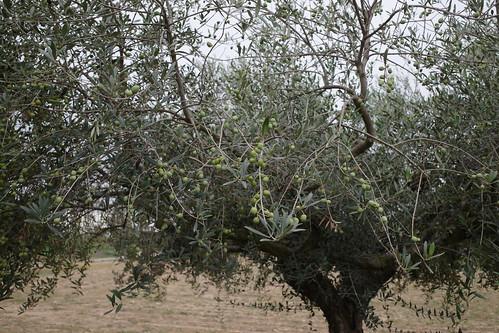 Mi olivera