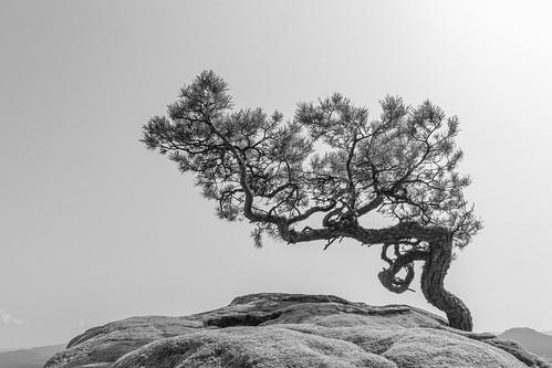 weather pine