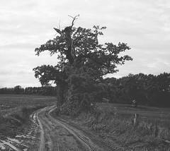 Alter Baum - Grauer Tag | 19. Oktober 2019 | Belau - Schleswig-Holstein - Deutschland