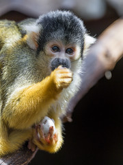 Squirrel monkey eating something