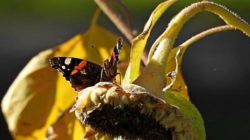 Ein Admiral sonnt sich auf der Sonnenblume :-)