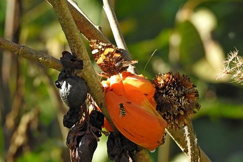 Es summt und krabbelt an meinen für die Insekten aufgehängten Früchten. Und sogar ein Schmetterling labt sich an der Sharon :-)