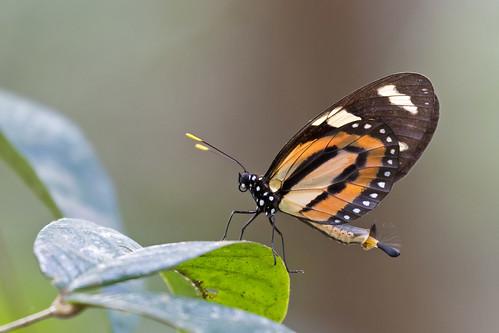 Tiger-mimic Qeen (Lycorea halia discreta)