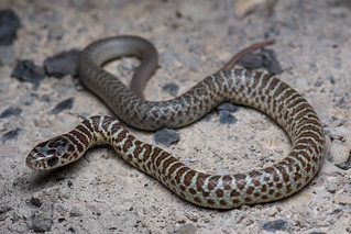 Western Yellow-bellied Racer-Coluber constrictor mormon