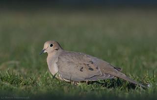 Posing dove