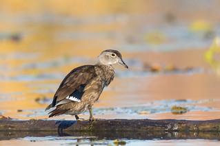 Canard Branchu (femelle)  -  Wood Duck