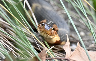 Broad Banded Water Snake