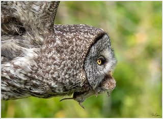 Great Grey with vole