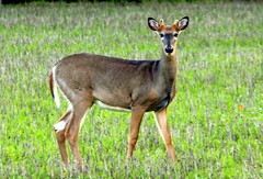 The white-tailed deer