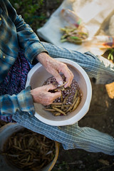 An old farmer peeling beans by hand
