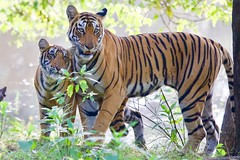 Tigress and cub