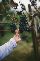 Kleines Kind spielt mit Weintrauben auf einem Weingut