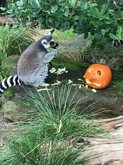Lemur at Halloween