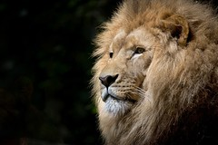 Africa african animal lion - Credit to https://homegets.com/