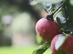 Garden Apple Bokeh   21. Oktober 2019   Tarbek - Schleswig-Holstein - Deutschland