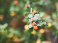 Fruit Garden Bokeh   21. Oktober 2019   Tarbek - Schleswig-Holstein - Deutschland